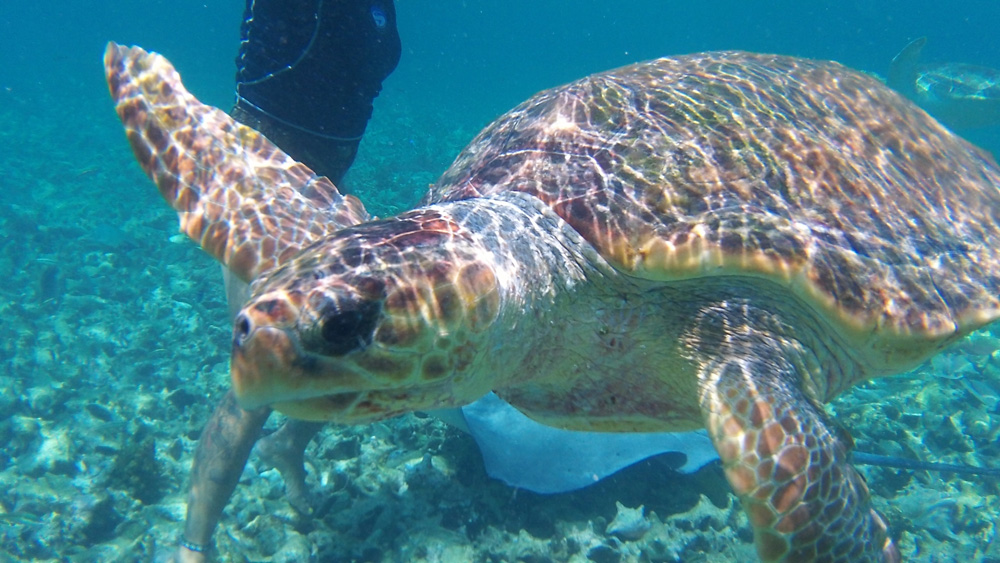 close up of sea turtle while snorkeling in belize