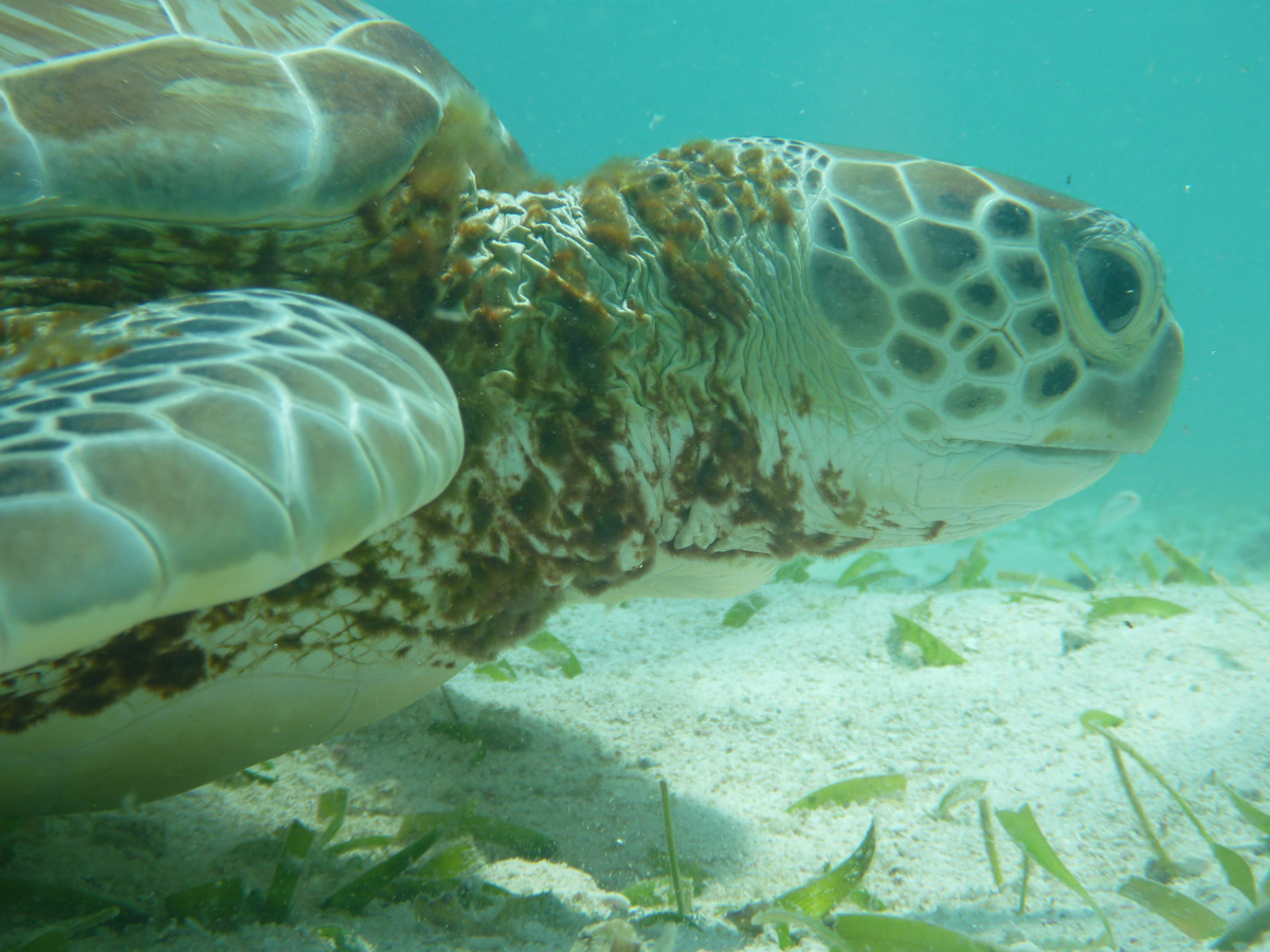 close up of turtle face swimming in sea grass in white sand belize