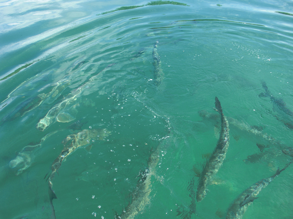 feeding huge tarpon in large school off boat near caye caulker belize