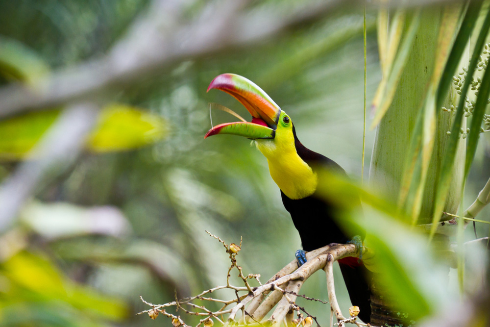 Keel billed toucan bird found in jungle while on family vacation seeking wildlife