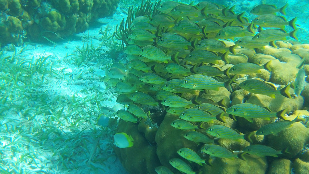large school of yellow fish seen while snorkeling in belize near hol chan