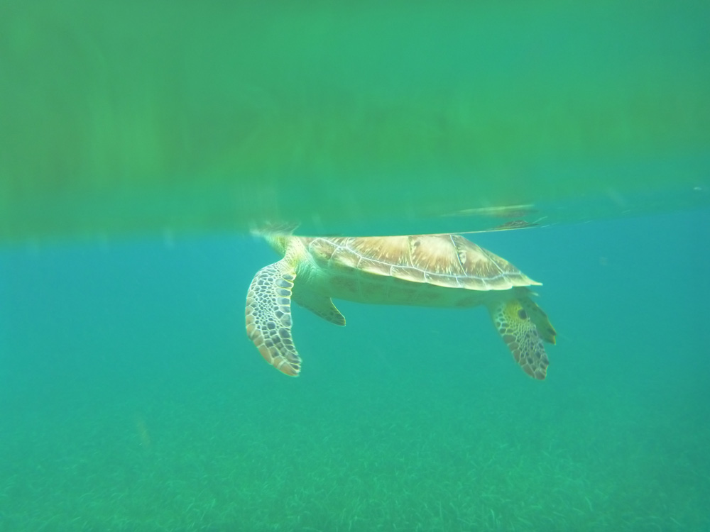 photo taken of sea turtle comes up for air while snorkeling in belize