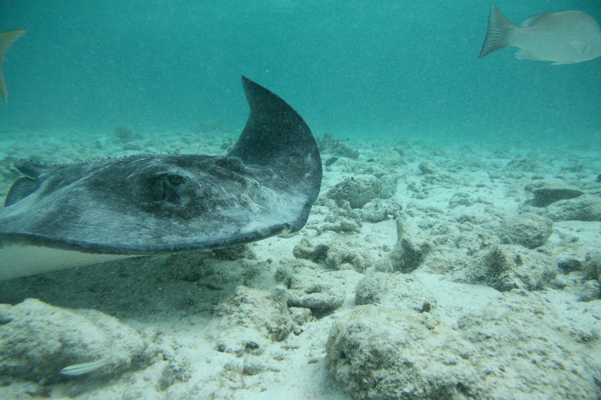Ray swimming while snorkeling with family at shark ray alley belize