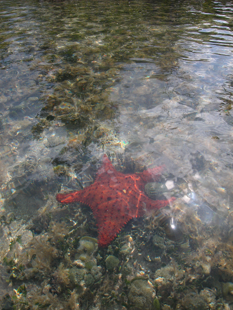 red star fish in belize near mangroves by caye caulker belize