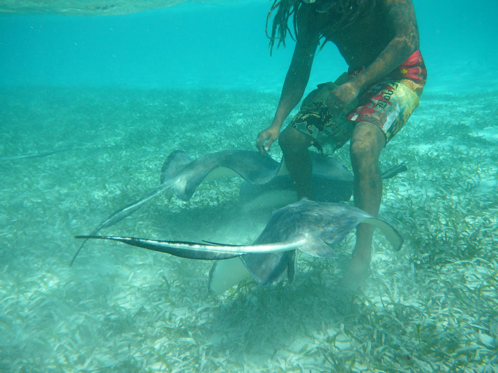 swimming with rays in sea grass while in belize on catamaran charter vacation